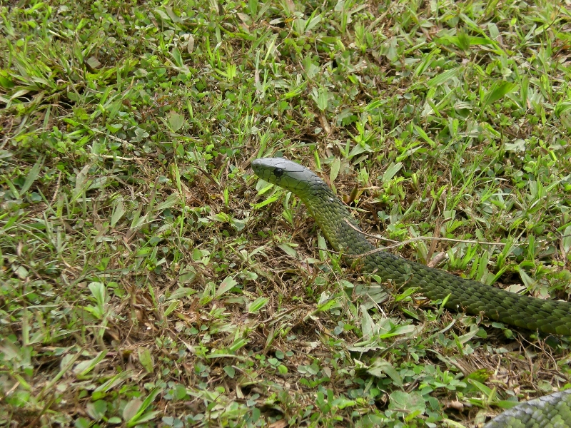 Snake (not identified)
